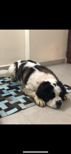 Saint Bernard dog available for stud in Ghaziabad Uttar Pradesh