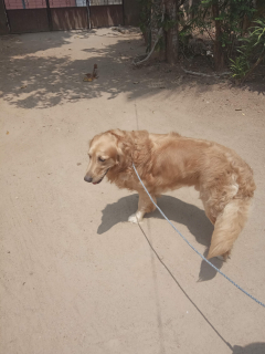 Male Golden Retriever Stud Dog Available in Thiruvananthapuram, Kerala