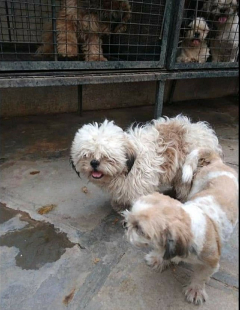 Show Shihtuz Male Available For Stud