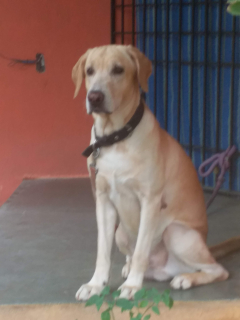 golden colour adorable and playful male labrador available for mating