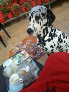 Dalmatian Stud Dogs Available in Moradabad Uttar Pradesh