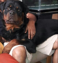 World Champion Bloodline Rotweiler Male available for Stud