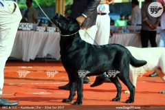 KCI Registered Black Labrador available for Stud in Bengaluru
