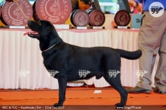KCI Registered Black Labrador available for Stud in Bengaluru