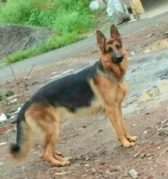 German Shepherd 2 year Male Dog available for breeding