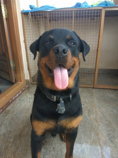 1 year old male Rottweiler Dog available for mating