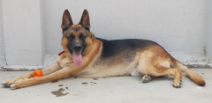 HUGE MALE GSD available for sale in Lucknow