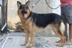 1.10 months GSD Available for stud