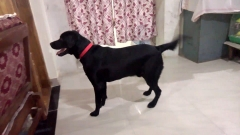 Labrador Adult available for Stud