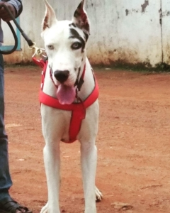 Harlequin Male Great Dane dog available for Stud service in Bhubaneswar