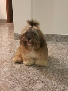 Good Quality Lhasa Apso available for Stud in Chennai