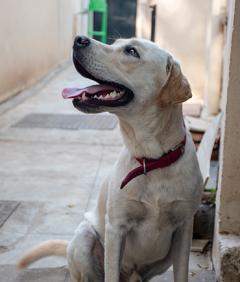 Louie - Labrador for Stud Service - Coimbatore