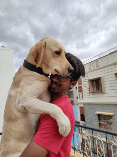 Male Labrador retriever Available for mating in Bangalore