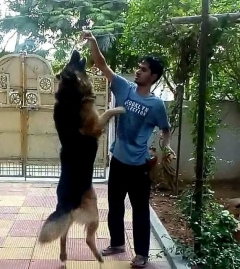 Healthy GSD dog available for mating