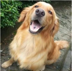 Stud Dog  Golden Retriever