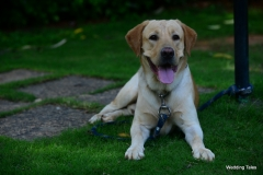 Labrador Retriever 3 years old dog ready for Stud